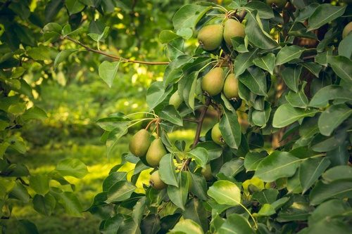 Summer harvest of pear  Duchess varieties